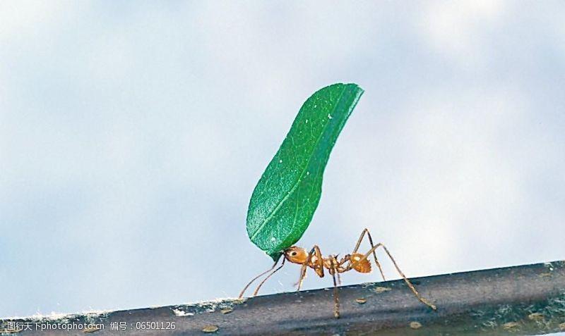 树叶图片免费下载蚂蚁搬树叶图片